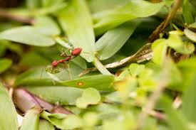 learn about nature weaver ants learn about nature