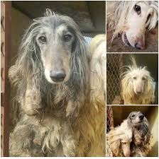 afghan hound puppies california fundraiser by marla hart magnificent7 free from hoarder hell