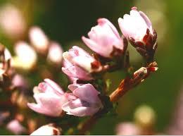 canula fiore file calluna vulgaris enbla01 jpg