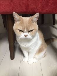 Original Grumpy Cat Meme - meet japanese grumpy cat who is even grumpier than the original