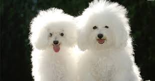 bichon frise dog pictures bichon frise dog breed information pictures and videos pets world