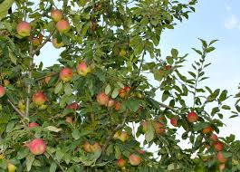 estimated yield for fruit trees stark bro s