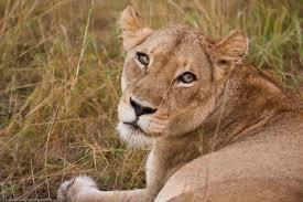luca galuzzi south africa facing the lion