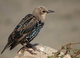 224 best common starling images on pinterest common starling