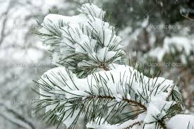 snow falling on branch of pine tree photo image by harix fliiby