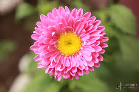 pink flower flower s mysteries