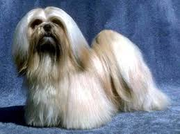 serena parker afghan hound judge lhasa apso breed dogs fun animals wiki videos pictures stories
