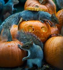 squirrel tries to steal a carved pumpkin from photographer u0027s