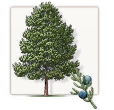 eastern cedar tree dallas fannin tree farm frisco tx
