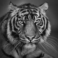 tiger faces my tiger