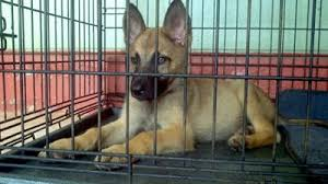 belgian shepherd weight chart rockey german malinois shepherd puppy