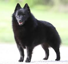 belgian sheepdog puppies for sale uk schipperke breeders breed clubs and rescue