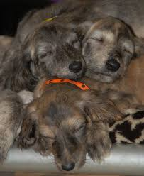 afghan hound teeth afghan hound info temperament mixes training puppies pictures