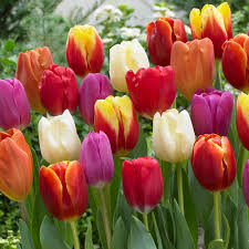tulips flowers zyverden tulips bulbs triumph mixture set of 50 21596 the