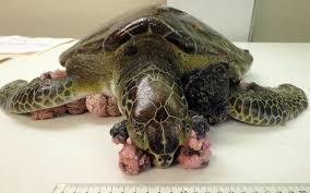 green sea turtles federally downlisted fl keys news