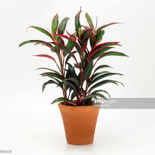 cordyline fruticosa houseplant with red at edge of green leaves