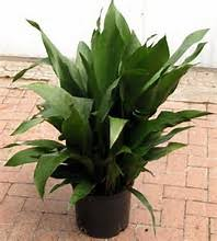 biggest house plants how many of you have one of these in your house cast iron plants