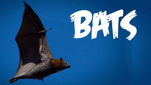 all about bats for kids animal videos for children freeschool