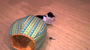 tuxedo kitten in the cat ball cat bed 2 youtube