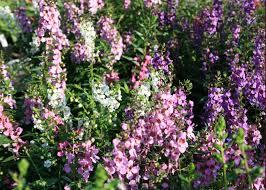 angelonia varieties handle mississippi heat humidity