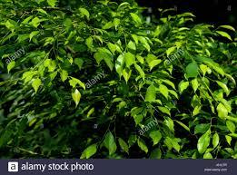 tree leaves pale green plant tree green leaves bright shiny faint