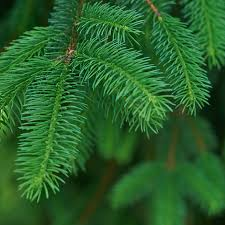 white spruce tree for sale fast growing trees