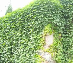 Indoor Vine Plants Indoor Ivy Plants Promotion Shop For Promotional Indoor Ivy Plants