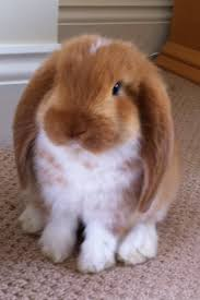 lop ears are the best bunnies hopefully my mom will let me get my