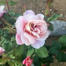 rose plants ella rose farm