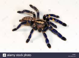 blue spider stock photos blue spider stock images alamy