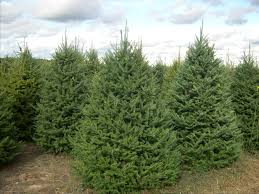 balsom fir tree balsam fir trees oh what beautiful trees