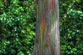 Rainbow Eucalyptus Rainbow Eucalyptus U2013the Most Colorful Tree On Earth Amusing Planet