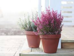 growing winter flowering heathers saga