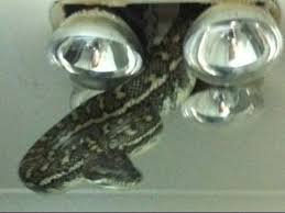 horrifying moment a snake bursts out of a bathroom light fitting