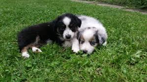 mini australian shepherd 7 weeks mini aussie puppies stonger miniature and standard aussies