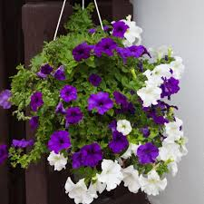top 10 plants for balcony in india
