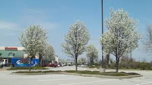 callery pear a bad bad plant with pretty flowers