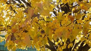 beautiful scenic fall autumn gorgeous trees desktop background