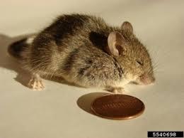 Moles Blind Mice Voles And Moles