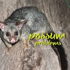 Possum In My Backyard Deter Possums From Around The Home And Backyard About The Garden
