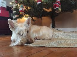 christmas scottish terrier and dog news