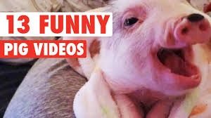 13 funny pig videos awesome compilation