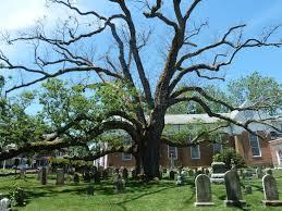 the 600 year george washington oak tree george