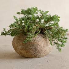 Plants That Need Low Light by Baby U0027s Tears Plant Soleirolia Soleirolii Pictures Care Tips