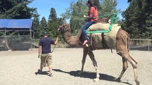 Zoo Lights Tacoma Wa by Camel Ride Point Defiance Zoo Tacoma Washington Youtube
