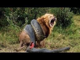 vidio film ular anaconda video aneh singa melawan ular python nyata youtube fascinating