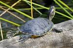 Image result for Trachemys scripta