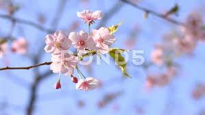 cherry blossom kawazu small wind at zenpukuji