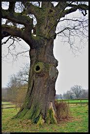panoramio photo of thick tree of verwolde