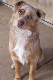 australian shepherd 1 year old border aussie dog breed information and pictures